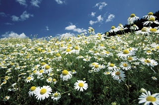 chamomile - コピー.jpg